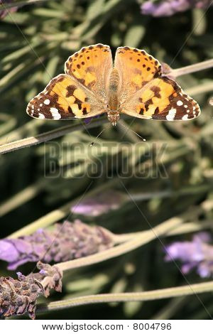 Painted Lady or Monarch butterfly sitting on plant poster