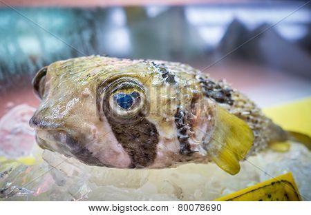 Japanese Fugu Fish Or Pufferfish