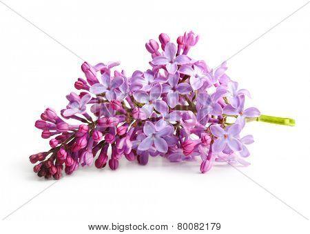 Spring flower, twig purple lilac. Syringa vulgaris. poster