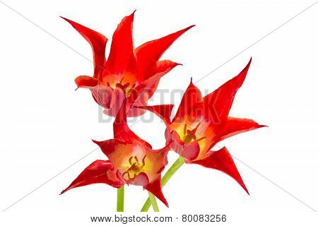 Three Unusual Red Tulips On White Background