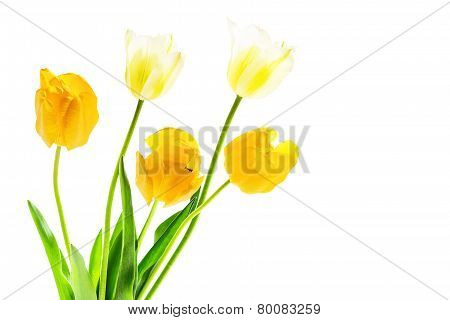 Bouquet Of White And Yellow Tulips