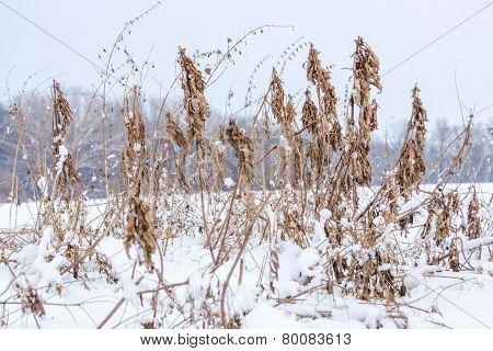 Introduced Grasses And Dandelions Under  Melted Snow