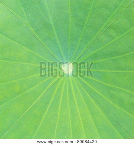 Close Up Lotus Leaf