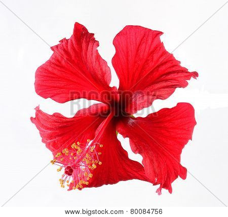 Red Flower Isolated On White Backgrount