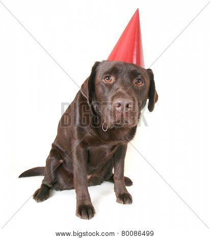 a chocolate lab with a party hat isolated on a white background