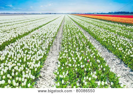 White tulips rows in summer time, Netherlands