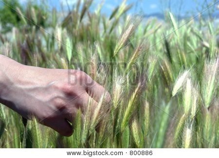 Green Barley