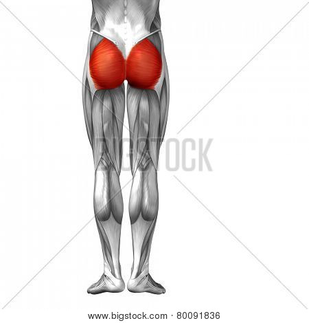 Concept or conceptual 3D gluteus maximus human upper leg anatomy or anatomical and muscle isolated on white background