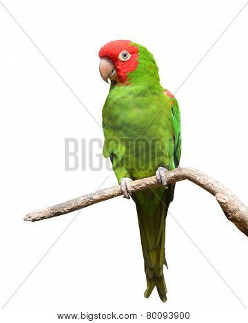Red And Green Conure Parrot