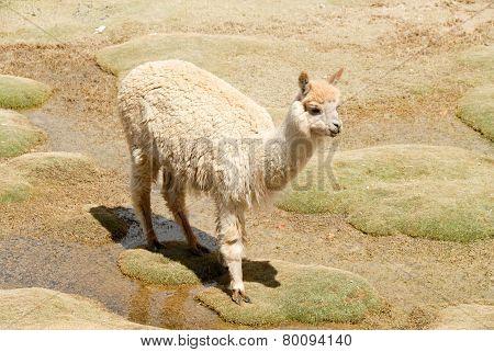 Llama In A Mountain Landscape, Peru
