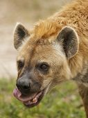Spotted hyena licking itself while eating prey poster