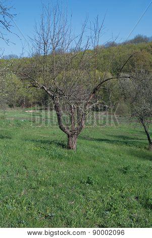 Tree Apple Tree