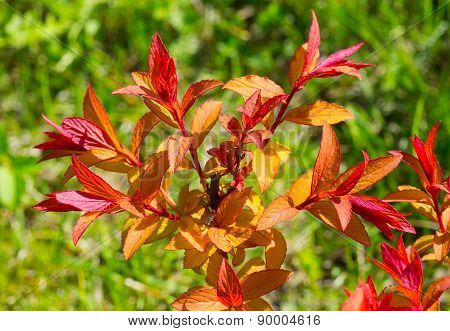 Ornamental Shrub With Red Leaves