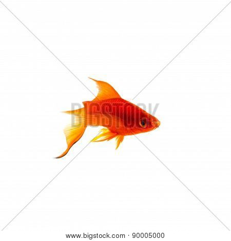 Orange Sword-tail Fish chasing a Female Isolated on White