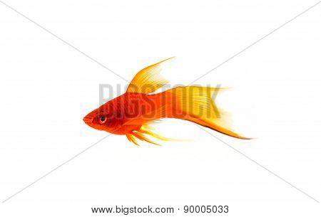 Beautiful Orange Sword-tail Fish Isolated on White