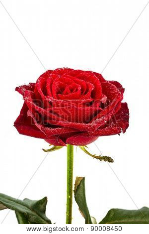 a red rose against white background. icon photo of beauty, love, valentine's day