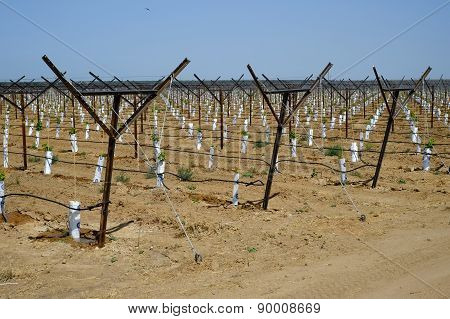 New Vineyard, Central California