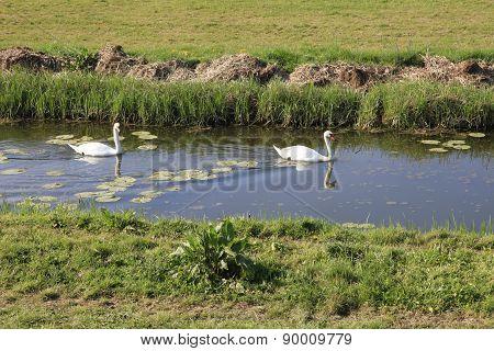 Pair of Swans swimming