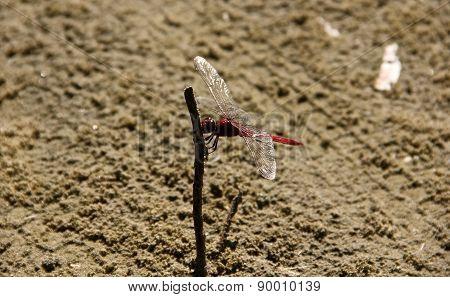 Red Dragonfly (Caballito de San Pedro)