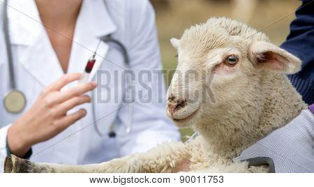 Lamb Vaccination