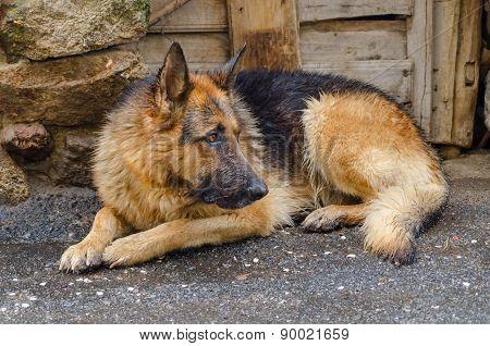 Soaked Dog