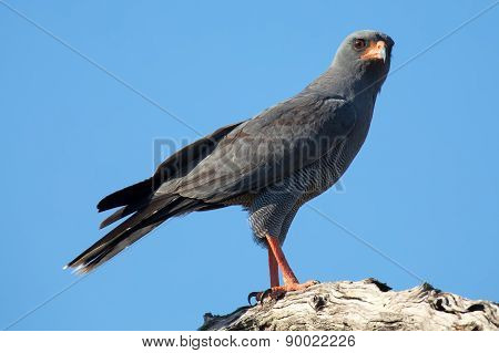 Beautiful Dark Chanting Goshawk Male Sit On Perch Looking