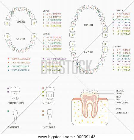 tooth anatomy chart,