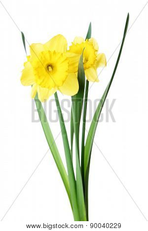 Narcissus flower isolated on white