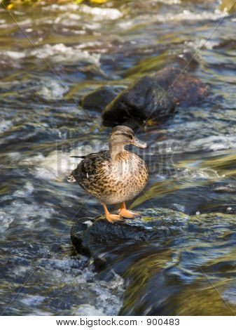 Duck In River