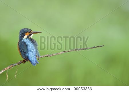 Bird (common Kingfisher) Perching On Beautiful Branch