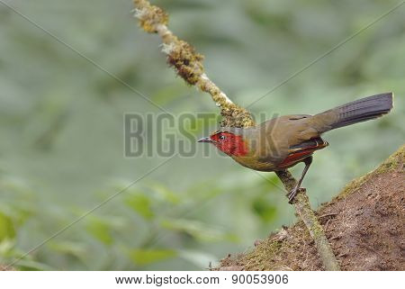 Beautiful Bird (scarlet-faced Liocichla Or Red-faced Liocichla)
