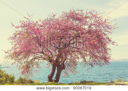 Redbud tree pink flowers, spring background