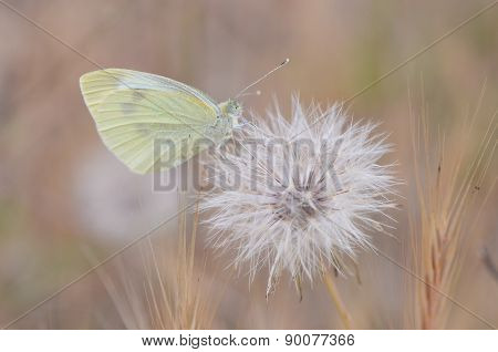 small butterfly on dandelion blowball