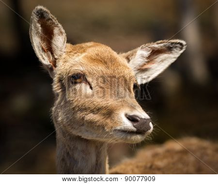 Close Up Of Cute, Young Baby Deer Face