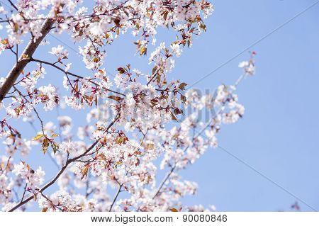 sakura blooming on may closeup