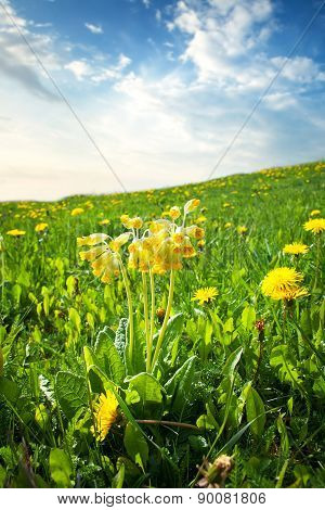 cowslip flowers on the field