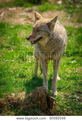 North American Coyote ( Canis Latrans)