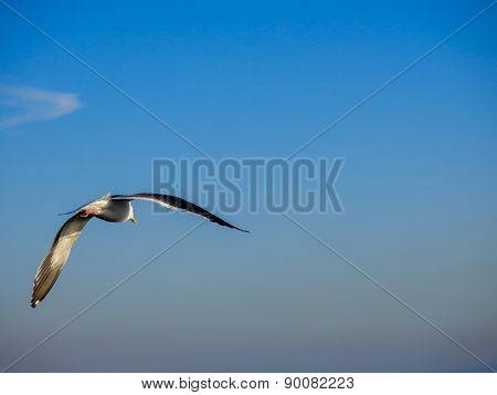 Flying seagull on a blue sky