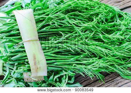 Green Acacia Pennata
