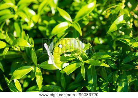 Green Caterpillar Green Leaf