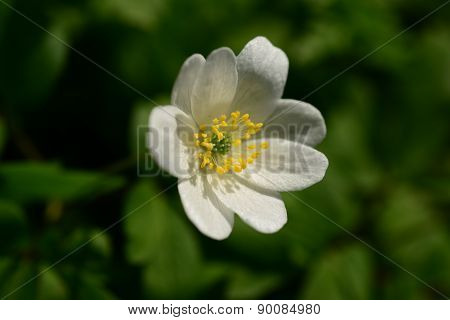 White Anemone May Morning Early Spring Flower