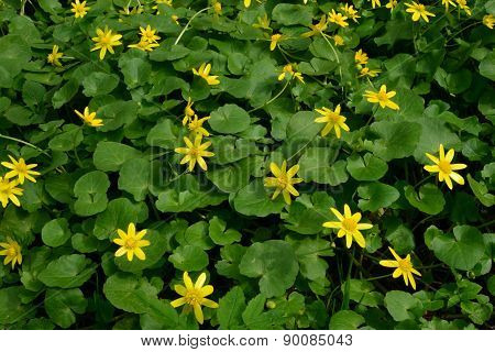Spring Lesser Celandine Green Thickets Of May