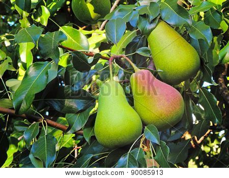 Three Large Ripe Pears Hanging On The Tree.
