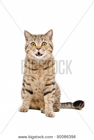 Portrait of a beautiful cat Scottish Straight