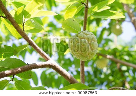 Custard Apples Fruit