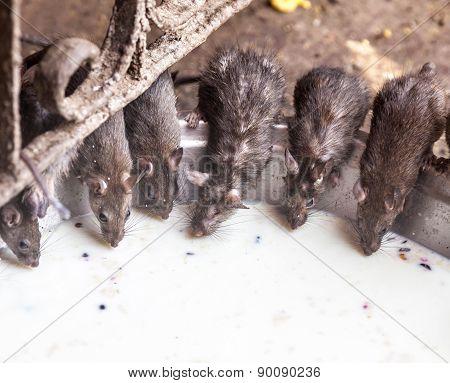 Rat Temple, Bikaner