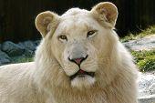 albino white lion (south african lion) - zoo bratislava slovakia poster