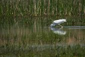 Image of Great White Egret at Lake Prespa Greece poster