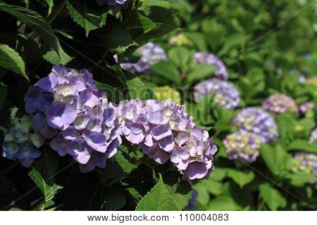 Various color of hydrangea