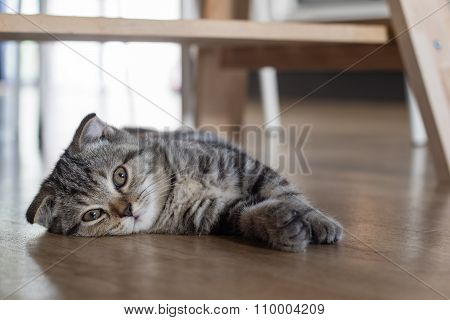 Cat Kitten Sleep On Wood Floor Under Wood Table